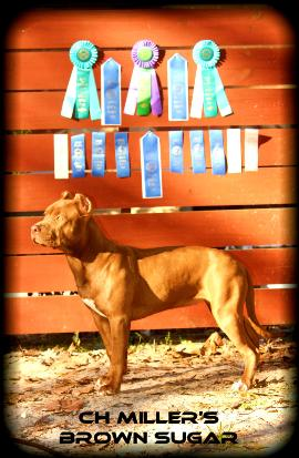 Coco UKC Champion American Pit Bull Terrier