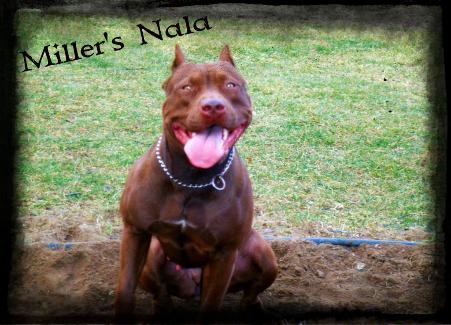 Real Deal Chocolates American Pit Bull Terrier Kennel