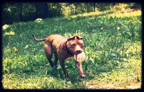 Pit Bull terrier play