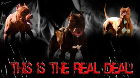 Real Deal chocolates red red nose pit bull terriers
