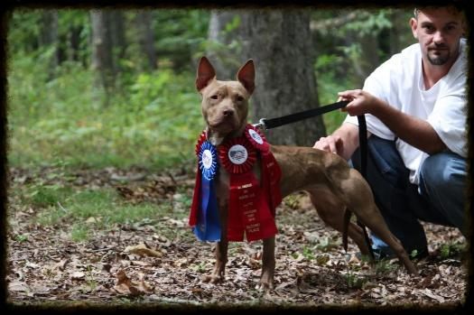 APBT Reeta conditioned for an AADR show